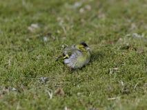 Το πουλί κάθεται στα graas Στοκ φωτογραφία με δικαίωμα ελεύθερης χρήσης