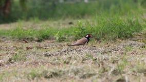 Το πουλί, κόκκινος-το πουλί αργυροπουλιών που στέκεται στο έδαφος και που φωνάζει δυνατά απόθεμα βίντεο