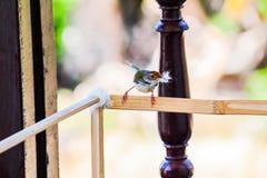 Το πουλί μητέρων παίρνει τη σφαίρα βαμβακιού για να κάνει τη φωλιά Στοκ εικόνες με δικαίωμα ελεύθερης χρήσης