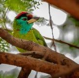 Το πουλί, μπλε-Barbet που εσκαρφάλωσε σε έναν κλάδο δέντρων στοκ φωτογραφία με δικαίωμα ελεύθερης χρήσης