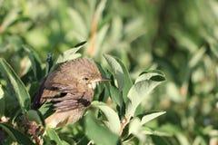 Το πουλί μωρών μιας συνεδρίασης τσιχλών σε έναν κλάδο στοκ εικόνες