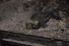 Το πουλί πέθανε στην πυρκαγιά της ασφυξίας Στοκ εικόνα με δικαίωμα ελεύθερης χρήσης