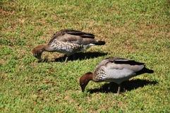 Το πουλί πέτρινος-σιγλίγουρων στη Νότια Νέα Ουαλία είναι κράτος στη Ανατολική Ακτή της Αυστραλίας στοκ φωτογραφία