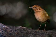 Το πουλί, σκουριασμένος-Pitta & x28  Oatesi & x29 Pitta  Στοκ Εικόνες