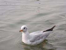 Το πουλί της Σιβηρίας Στοκ Φωτογραφία