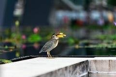 Το πουλί τρώει λίγο ψάρι Στοκ Εικόνα