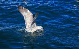 Το πουλί τρώει το ψωμί Στοκ Φωτογραφία