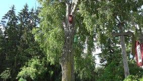 Το πουλί δύο στεγάζει να τοποθετηθεί τα κιβώτια κρεμά στο παλαιό δέντρο σημύδων κοντά στο αγροτικό σπίτι 4K φιλμ μικρού μήκους