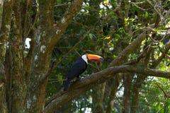 Το πουλί Toucan στη φύση Foz κάνει Iguazu, Βραζιλία Στοκ εικόνα με δικαίωμα ελεύθερης χρήσης