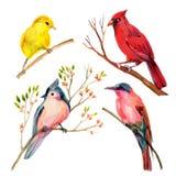 Το πουλί Watercolor έθεσε: κόκκινο βασικό, σχηματισμένο τούφες titmouse, κίτρινοι συλβία και μέλισσα-τρώγων Στοκ φωτογραφία με δικαίωμα ελεύθερης χρήσης