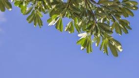 Το πολύ πράσινο βγάζει φύλλα Στοκ Εικόνα