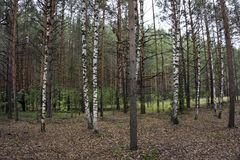 το πράσινο άλσος φυλλώματος σημύδων μπορεί Άλσος σημύδων δασική άνοιξη ηλιόλουστη Στοκ φωτογραφία με δικαίωμα ελεύθερης χρήσης