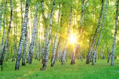 το πράσινο άλσος φυλλώματος σημύδων μπορεί επάνω από τα όμορφα σύννεφα πουλιών τα χρώματα πετούν νωρίς το χρυσό πρωινού SOM θάλασ Στοκ Εικόνες