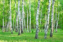 το πράσινο άλσος φυλλώματος σημύδων μπορεί στοκ φωτογραφία