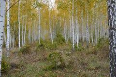 το πράσινο άλσος φυλλώματος σημύδων μπορεί στοκ εικόνα με δικαίωμα ελεύθερης χρήσης