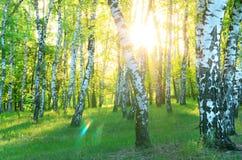 το πράσινο άλσος φυλλώματος σημύδων μπορεί στοκ εικόνες με δικαίωμα ελεύθερης χρήσης
