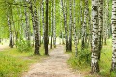 το πράσινο άλσος φυλλώματος σημύδων μπορεί Στοκ Εικόνες