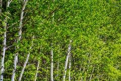 το πράσινο άλσος φυλλώματος σημύδων μπορεί Στοκ φωτογραφία με δικαίωμα ελεύθερης χρήσης