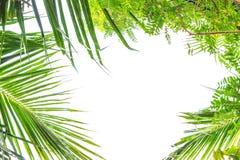 Η καρύδα βγάζει φύλλα Στοκ Εικόνες
