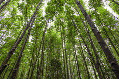 Το πράσινο δέντρο ψηλού σε ένα δασικό τοπίο Στοκ Φωτογραφία