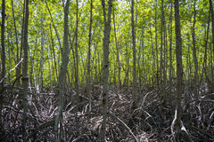 Το πράσινο δασικό μαγγρόβιο στο Forest Park Pranburi, Prachuap Khiri Khan, Ταϊλάνδη Στοκ Εικόνες