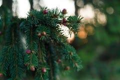 Το πράσινο δέντρο πεύκων οξύνει τη μακρο κινηματογράφηση σε πρώτο πλάνο στοκ φωτογραφία