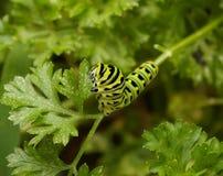 Το πράσινο και μαύρο Caterpillar στο μαϊντανό Στοκ εικόνες με δικαίωμα ελεύθερης χρήσης