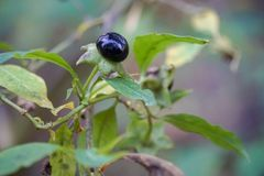 το πράσινο καφετί μαύρο μούρο με βγάζει φύλλα το θάμνο δηλητήριων φυτών στοκ φωτογραφία