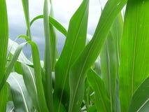Το πράσινο καλαμπόκι βγάζει φύλλα Στοκ φωτογραφίες με δικαίωμα ελεύθερης χρήσης
