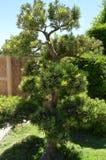 Το πράσινο κυρτό δέντρο μπονσάι αυξάνεται στον ιαπωνικό κήπο Σχέδιο τοπίων στο ιαπωνικό ύφος στοκ εικόνες με δικαίωμα ελεύθερης χρήσης