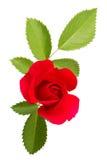 το πράσινο κόκκινο φύλλων αυξήθηκε Στοκ Εικόνες