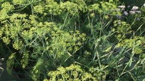 Το πράσινο μάραθο ωριμάζει στο βίντεο μήκους σε πόδηα αποθεμάτων κρεβατιών κήπων φιλμ μικρού μήκους