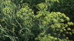 Το πράσινο μάραθο ωριμάζει στο βίντεο μήκους σε πόδηα αποθεμάτων κρεβατιών κήπων απόθεμα βίντεο