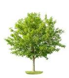 Το πράσινο νέο δέντρο σφενδάμνου απομόνωσε το άσπρο υπόβαθρο Στοκ Εικόνες