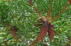 Το πράσινο νεφρό πεύκων φύσης δέντρων διακλαδίζεται ξύλινα φύλλα λουλουδιών κώνων φυτών φθινοπώρου βελόνων χλωρίδας φρούτων αραχν στοκ εικόνες