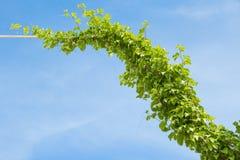 Το πράσινο πριόνι κισσών στο φραγμό χάλυβα στοκ εικόνες