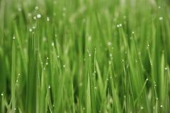 Το πράσινο ρύζι κολλά τη δροσιά στα φύλλα στοκ φωτογραφία με δικαίωμα ελεύθερης χρήσης