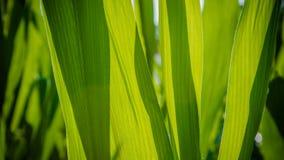 Το πράσινο του φύλλου cron Στοκ Εικόνα