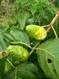 Το πράσινο του citrifolia Morinda φρούτων Στοκ Φωτογραφίες