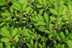 Το πράσινο υπόβαθρο του νέου έλατου διακλαδίζεται την άνοιξη Σχέδιο φύσης στοκ εικόνες