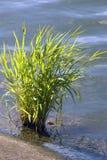 Το πράσινο φυτό αυξάνεται στη λίμνη νερού Φέουδο Izmailovo στη Μόσχα Στοκ φωτογραφία με δικαίωμα ελεύθερης χρήσης