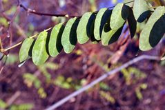 Το πράσινο φύλλο ακακιών στον κλάδο, μουτζουρωμένο δασικό υπόβαθρο, κλείνει επάνω στοκ εικόνες
