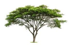 Το πράσινο φύλλο δέντρων απομονώνει στο λευκό Στοκ φωτογραφία με δικαίωμα ελεύθερης χρήσης