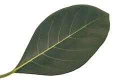 Το πράσινο φύλλο απομονώνει, σύσταση του πράσινου φύλλου στοκ φωτογραφία με δικαίωμα ελεύθερης χρήσης