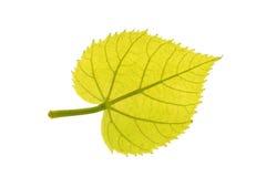 Το πράσινο φύλλο κοινού απομονωμένος στο λευκό Στοκ Εικόνες