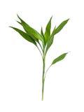 Το πράσινο φύλλο στο άσπρο υπόβαθρο Στοκ Φωτογραφία