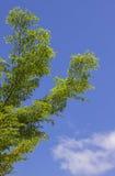 Το πράσινο φύλλο στο μπλε ουρανό Στοκ φωτογραφία με δικαίωμα ελεύθερης χρήσης