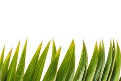 Το πράσινο φύλλο Parm απομονώνει το άσπρο υπόβαθρο Στοκ φωτογραφία με δικαίωμα ελεύθερης χρήσης