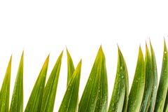Το πράσινο φύλλο Parm απομονώνει το άσπρο υπόβαθρο Στοκ Εικόνες