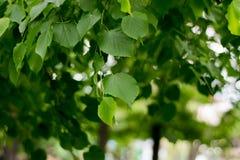Το πράσινο φύλλωμα του διακοσμητικού δέντρου, που ταλαντεύεται λόγω του αέρα Στοκ Φωτογραφία